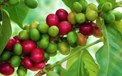 Green Coffee Bean Program